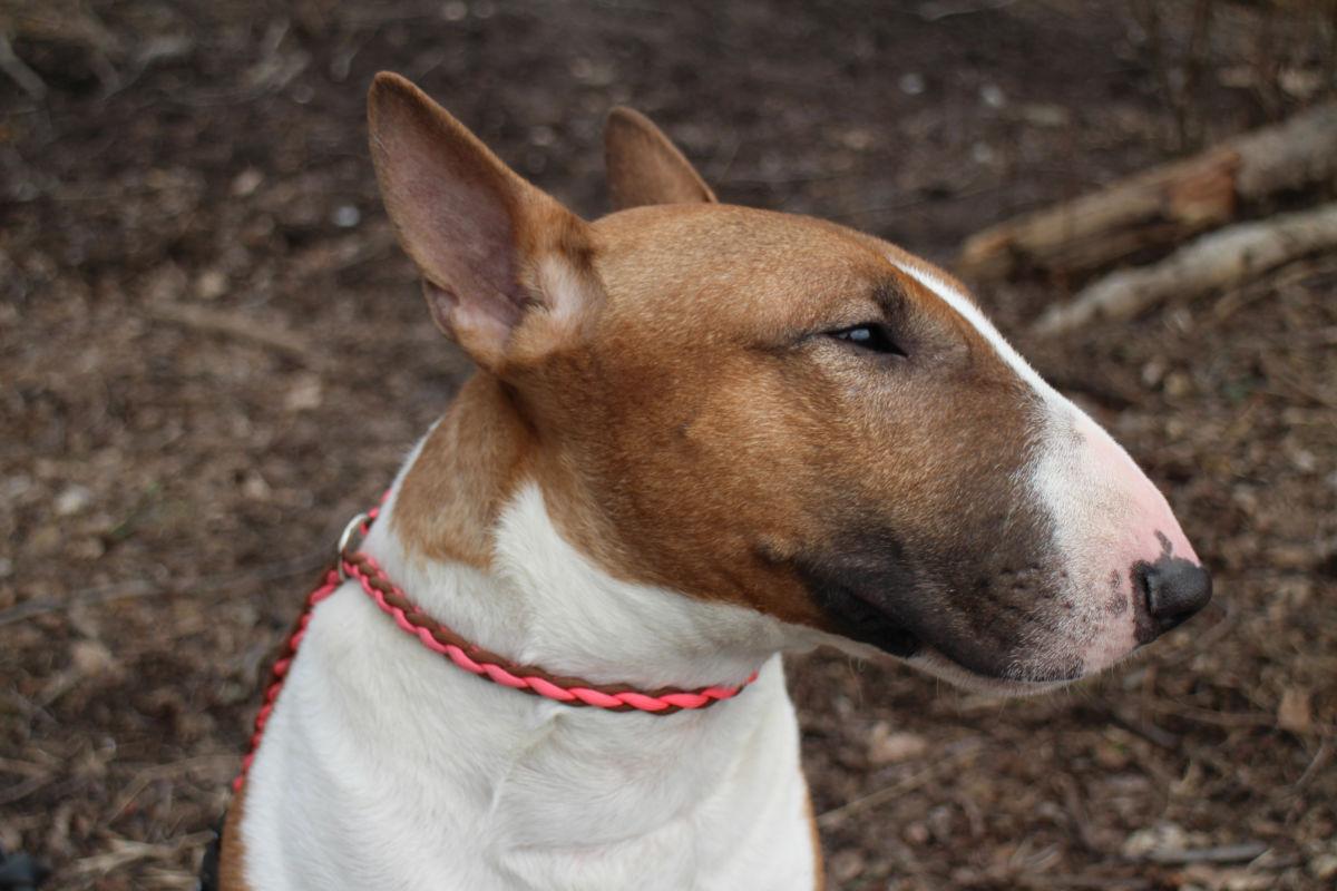 dogs_of_joy_bullterrier_collar_03_kääpiöbullterrieri