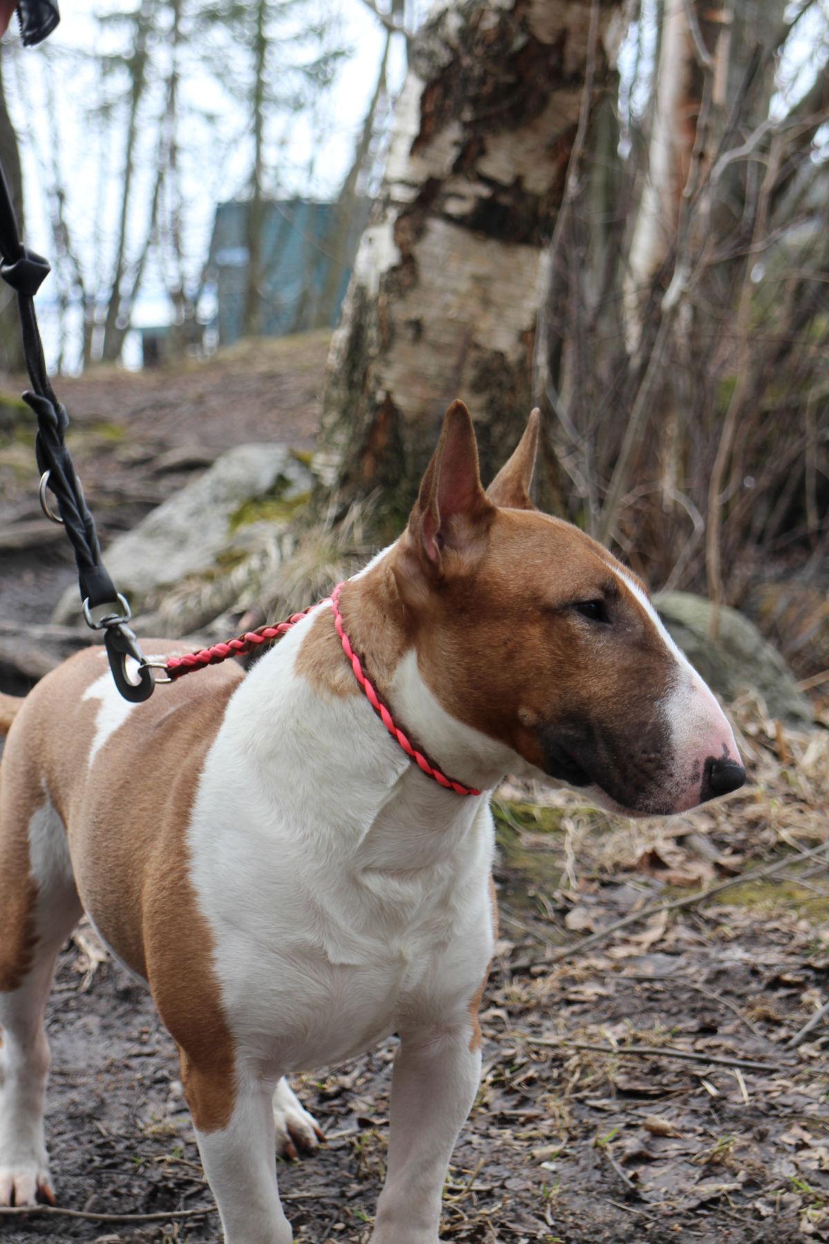 dogs_of_joy_bullterrier_collar_04_kääpiöbullterrieri
