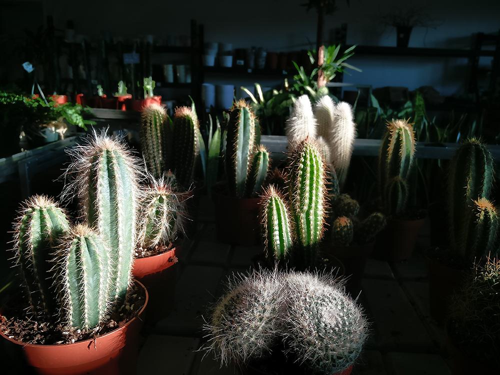 kaktukset_luoman_puutarha_seinajoki_asuntomessut_2016_ilta-aurinko