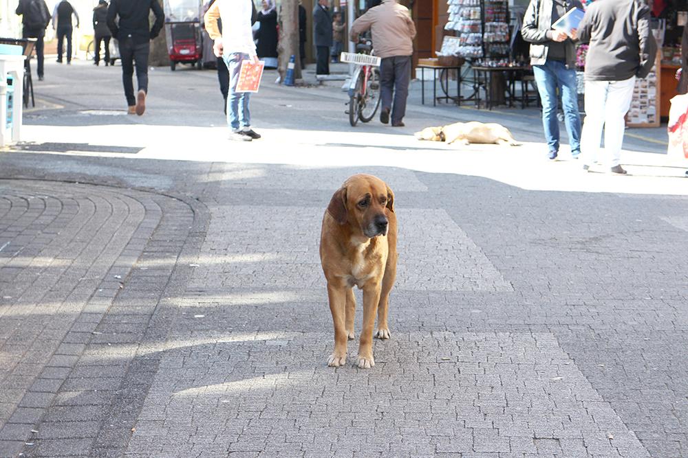 Koira Istanbulissa